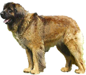 leonberger-body-riko