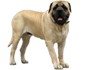 old-english-mastiff-body-fargo