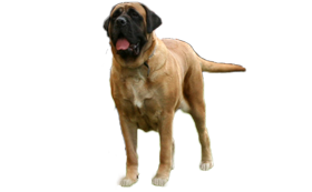 Old English Mastiff Hündinnen