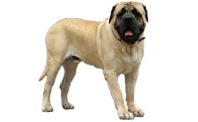 Old English Mastiff Rüden